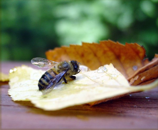Bee_on_wet_leaves